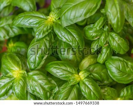 Detail of green leaves of Italian basil, pattern of bright green leaves Zdjęcia stock ©
