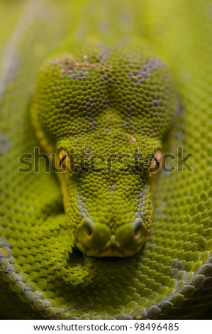 Detail of green python, Morelia viridis