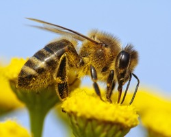 detail of honeybee