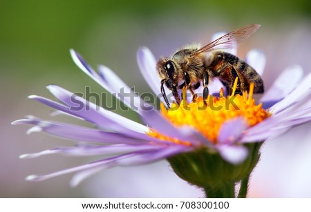 Photo of  detail of honeybee in Latin Apis Mellifera, european or western honey bee sitting on the violet or blue flower