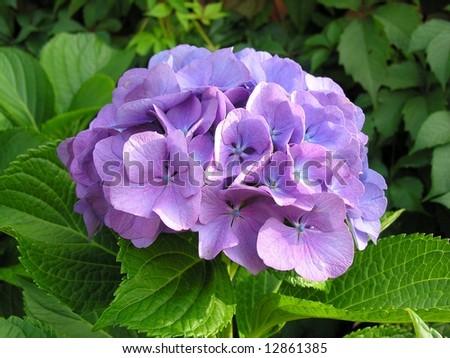 Detail of hydrangea or hortensia flower. Hydrangea macrophylla
