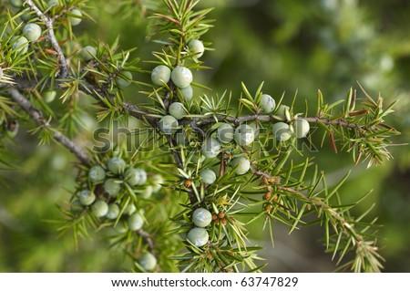 Detail of juniper branch full of berries - stock photo