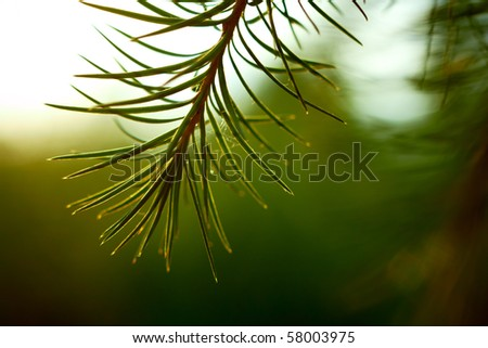 Detail of larch branch. Shallow DOF.