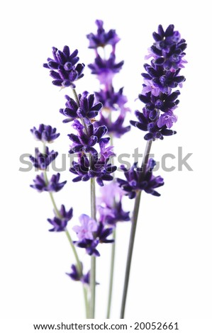 Lavender Flower Picture on Detail Of Lavender Flower Stock Photo 20052661   Shutterstock