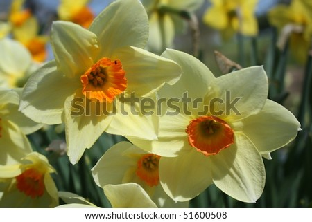 detail of narcissus in nature