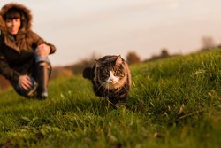 Detail of Norwegian Forest cat in meadow at sunset and young woman in background. Soft light.