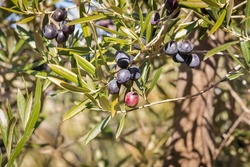 detail of olive tree branch with ripening black olives and blurred background