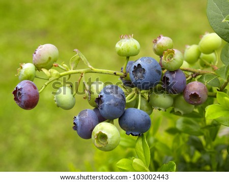 Detail of organic blueberries fruit on a branch