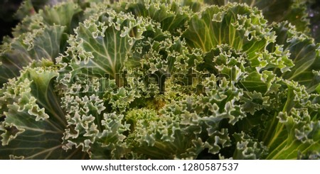 Detail of Ornamental cabbage,ornamental cabbage is a great garden decoration. Select focus #1280587537