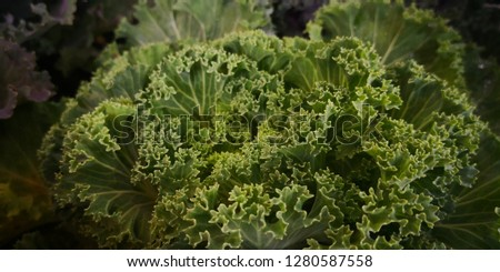 Detail of Ornamental cabbage,ornamental cabbage is a great garden decoration. Select focus #1280587558