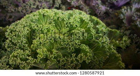 Detail of Ornamental cabbage,ornamental cabbage is a great garden decoration. Select focus #1280587921