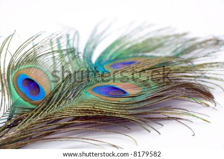 detail of peacock feather on white background