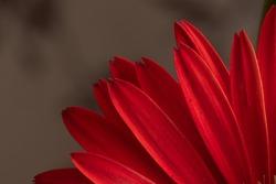 Detail of petals of beautiful red gerbera jamesonii, transvaal daisy. Studio shot, dark grey background. Vibrant colour.
