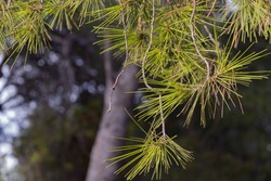 Detail of pine leaves against a green and blue background on a sunny day