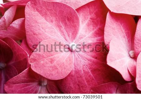Detail of pink hortensia petals, selective focus