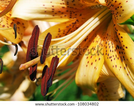 Detail of pollen and stamen of lily flower