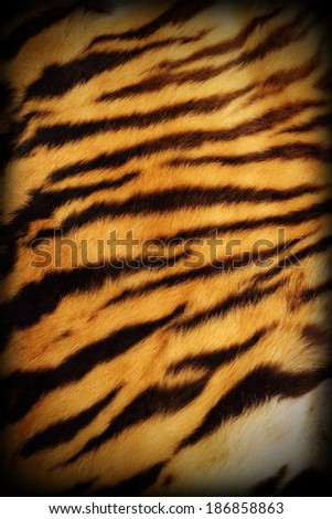 detail of real tiger textured pelt with added vignette, natural pattern