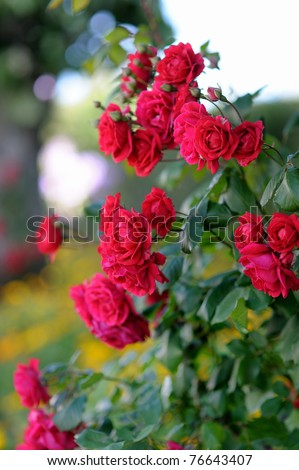 Detail of red roses bush as floral background