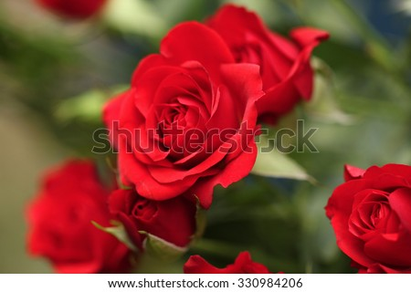 Detail of red roses in the garden.