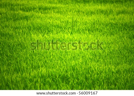 detail of rice field plants
