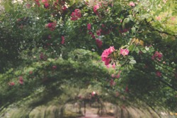 Detail of Rose Arbor Tunnel with Pink Roses