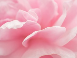 Detail of rose petal pink sweet for background image.