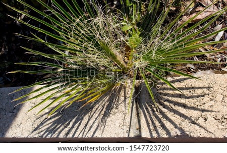 Detail of seedling graceful green cotton palm washingtonia fronds which are a delightful landscaping plant adding tropical charm to the urban street scape. #1547723720