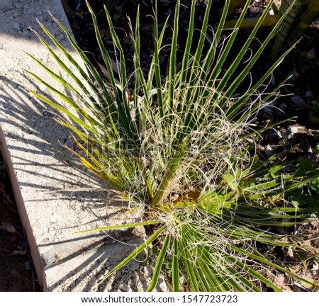 Detail of seedling graceful green cotton palm washingtonia fronds which are a delightful landscaping plant adding tropical charm to the urban street scape. #1547723723