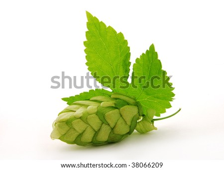 Detail of single hop cone and leaf