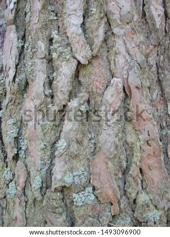 detail of the bark of a trunk of stone pine, stone pine, umbrella pine, parasol pine, Pinus pinea, in natural environment #1493096900
