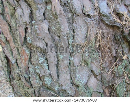 detail of the bark of a trunk of stone pine, stone pine, umbrella pine, parasol pine, Pinus pinea, in natural environment #1493096909