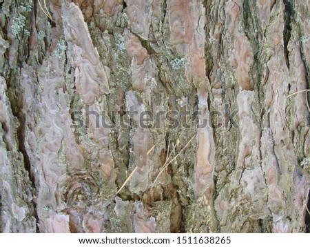 detail of the bark of a trunk of stone pine, stone pine, umbrella pine, parasol pine, Pinus pinea, in natural environment #1511638265