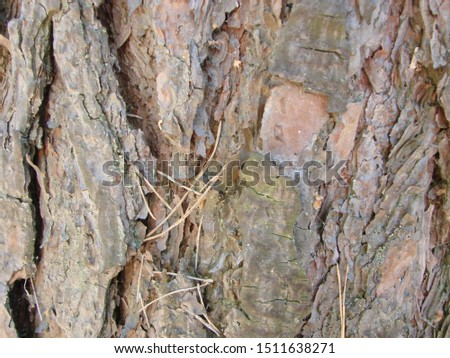 detail of the bark of a trunk of stone pine, stone pine, umbrella pine, parasol pine, Pinus pinea, in natural environment #1511638271