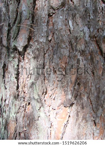 detail of the bark of a trunk of stone pine, stone pine, umbrella pine, parasol pine, Pinus pinea, in natural environment #1519626206