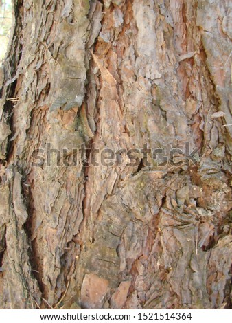 detail of the bark of a trunk of stone pine, stone pine, umbrella pine, parasol pine, Pinus pinea, in natural environment #1521514364