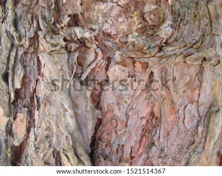 detail of the bark of a trunk of stone pine, stone pine, umbrella pine, parasol pine, Pinus pinea, in natural environment #1521514367