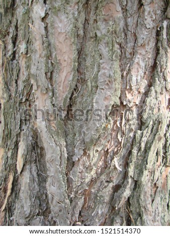 detail of the bark of a trunk of stone pine, stone pine, umbrella pine, parasol pine, Pinus pinea, in natural environment #1521514370