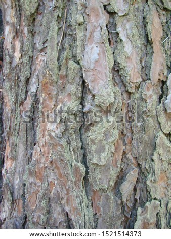 detail of the bark of a trunk of stone pine, stone pine, umbrella pine, parasol pine, Pinus pinea, in natural environment #1521514373