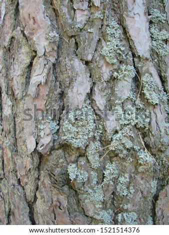 detail of the bark of a trunk of stone pine, stone pine, umbrella pine, parasol pine, Pinus pinea, in natural environment #1521514376