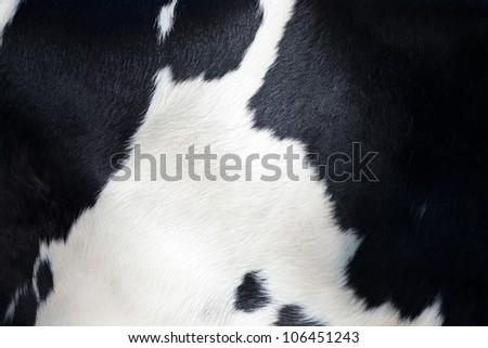 Detail of the black and white fur of a Dutch milk cow