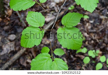 Detail of the bright green leaves of a witch hazel tree. #1092352112