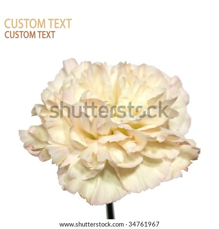 Detail of the Carnation flower (Dianthus caryophyllus) also known as Clove Pink. Isolated on pure white.