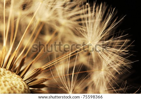 Detail of the Dandelion on the black Background