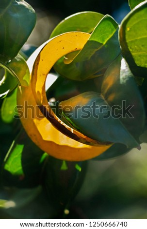 Detail of the green leaves of a cherry laurel tree ( common laurel - prunus ), one leaf is yellow , selective focus ,saturated colors #1250666740