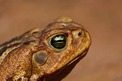 detail of the head and eye of the cane toad (Rhinella diptycha)