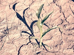 Detail of the Maize Stalk in dry red ferric soil without moisture and nutrients.