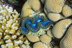 Detail of the mantle of a giant clam, Tridacna, growing on a coral reef