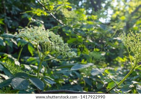 Detail of the white flowering deciduous shrubs (Sambucus nigra). Abundantly widespread shrub in Europe and North America. Elder, elderberry, black elder, European elder. #1417922990