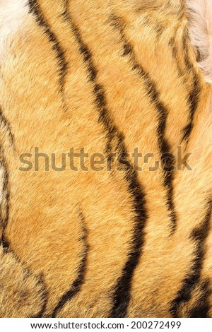 detail of tiger real stripes on fur, hunting animal background