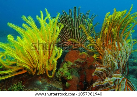 Detail of underwater life on the coral reef. Colorful sea lily. Scuba diving underwater picture from color wildlife reef.